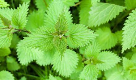 Un crecimiento de la ortiga común también conocido como urtica