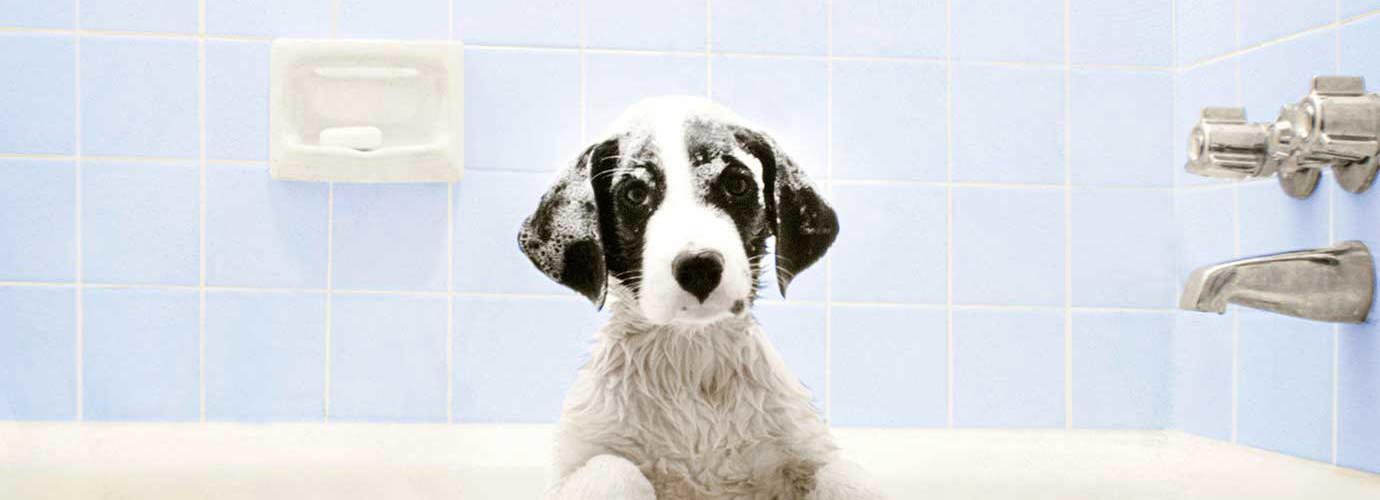 Cão na banheira à espera da hora do banho